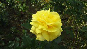 荒巻バラ公園のバラ