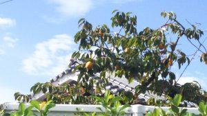 柿の木の画像